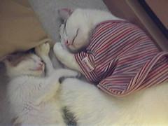Picture334 (junku) Tags: cats cat kitten kitties  rika   fuwari