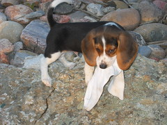 Rotten baby dog steals a sock (Lynda Sandoval) Tags: ditto gulliver beagle maltese mutt puppy dogs pets pals playtime sleepytime socks cute