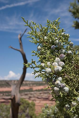 colorado coloradonationalmonument grandjunction nationalmonument nps juniper tree berries