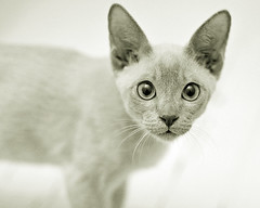 Baby (bikeracer) Tags: portrait pet baby sepia cat interestingness eyes kitten topf75 little gorgeous topv1111 small ears tonkinese tiny blogged tungsten tonk weeklysurvivor platinum solid diminutive shallowdof mc01 weeklyblog7 interestingness275 i500 explore17aug05 chromatoned