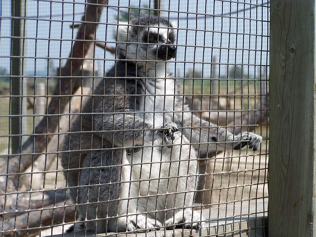 Even Ring-Tailed Lemurs Hate it
