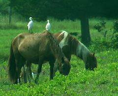 Ride 'em, Cowbird (wintermute23) Tags: birds egrets ponies chincoteague