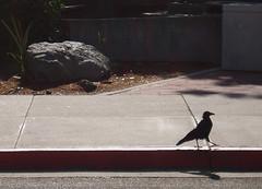 raven crow corvid walking strolling lapromenade bird