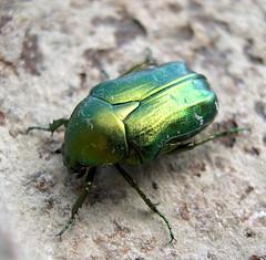 | escarabajo | (arquera) Tags: 2005 summer macro verde beetle patas verano escarabajo bicho scarabe jewelscarab