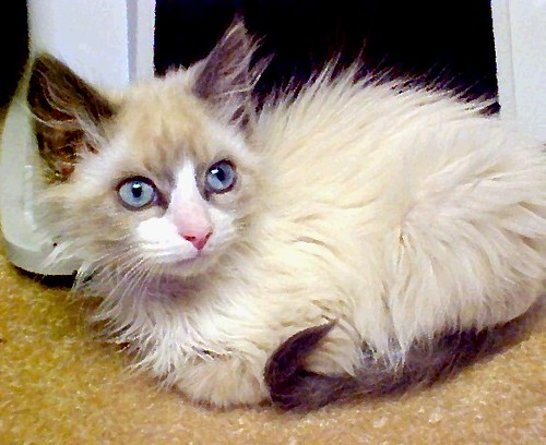 500 Kitten With Light Blue Eyes Long Hair Not So Close In by Pixel Packing