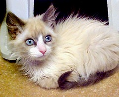 500 Kitten With Light Blue Eyes Long Hair Not So Close In (Pixel Packing Mama) Tags: beautiful catwomen wonder whiskers mycats stunning catsandkittensset ilovemycat furryfriday cateyes nuggets cutekittens babyanimals exclamationpoints meowscatsv animalfeelings catskittensset thecatsmeow blueeyedanimals 1025favorites catlovers heartlandhumanesociety animaleyes beautifulcats catpix pixelpackingmama meowscollector catssmalltobig dorothydelinaporter worldsfavorite mavicafanclub everybodywantstobeacat i500 notmypet scaredycats beautifuluniverse ourcatcompanions melfanclub somebodyelsescat catsworld wonderfulunlimited montanathecat~fanclub catcentury ourbelovedcats meowscats justmoggies dashingdivas7prettyprincesses cc4000 montanathecat~fanclubpool bonzag favoritedpixset mostinterestingaccordingtoflickralgorithmset adorableunlimited cat4000 greatpixgallery10favespool catsthatqualifytobeinthecatsmeowset interestingness44623mar07 ceruleanthecat~fanclub ceruleanthecat~fanclubpool catspinknose exclamationpointspool pixwithexclamationpointsincommentsset 760eligiblecatskittensset views1000andupdomesticcatsonlypool allcatsallowedpool siamesecatsandtheirfelinebrotherspool uploadedtoflickr2005set exclamationpointsincommentsset chosenbyflickrexploreset update4sure painterlycatsset update4sureset pixelpackingmama~prayforkyronhorman over430000photostreamviews