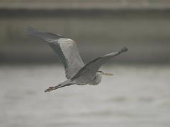 蒼鷺 Grey Heron - by Changhua Coast Conservation Action