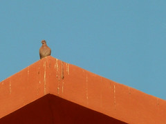 Pigeon on Roof, Sheraton Miramar Resort El Gouna, Egypt (mnadi) Tags: flowers blue roof sunset red summer vacation sky orange holiday flower colour garden hotel warm skies colours outdoor pigeon redsea curves perspective egypt sunny resort arabic clear gouna egyptian styles sheraton terra ethnic spa cotta miramar hurghada michaelgraves bedouin  nubian elgouna bougainvilleas