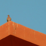 Pigeon on Roof, Sheraton Miramar Resort El Gouna, Egypt thumbnail