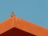 Pigeon on Roof, Sheraton Miramar Resort El Gouna, Egypt (mnadi) Tags: flowers blue roof sunset red summer vacation sky orange holiday flower colour garden hotel warm skies colours outdoor pigeon redsea curves perspective egypt sunny resort arabic clear gouna egyptian styles sheraton terra ethnic spa cotta miramar hurghada michaelgraves bedouin مصر nubian elgouna bougainvilleas أزرق بحر أحمر مصري الجونة الغردقة
