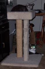 catstand (KitanaOR) Tags: cat ben ash scratchingpost