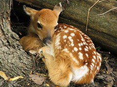 Fawn in the woods (nature55) Tags: nature tag3 bravo tag2 tag1 wildlife interestingness1 100v10f deer fawn animalkingdomelite abigfave 5explorepages impressedbeauty photocontesttnc08
