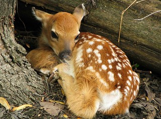 Fawn in the woods