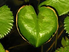 corcao verde (zenog) Tags: verde heart coeur cuore herz