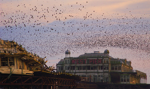 Starlings Swarming over West Pier by tommy martin