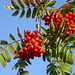 Photo: Sorbus aucuparia