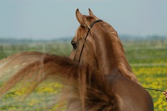swoosh! (bea2108) Tags: horses animal animals explore arab arabian arabianhorses interestingness469 i500 hbotw hbotwarabian