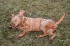 IMG_4744 (holdrioo_ch) Tags: dog dogs hunting vizsla thalassa hungarian vizslas