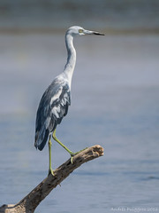 Grza azul, Little blue heron, Egretta caerulea (Andres Puiggros) Tags: arica aves bird birds humedal lluta grzaazul littleblueheron egrettacaerulea garza egret