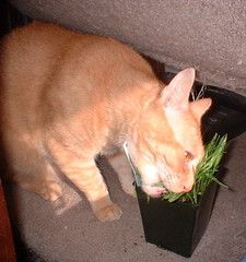 Abby chewing on cat grass