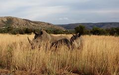 Three rhinos in a field