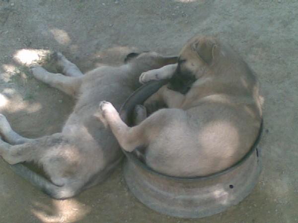 Perritos_durmiendo