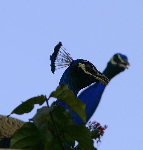 Two peacock necks 3