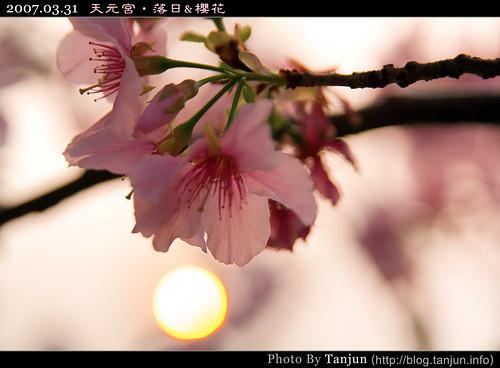 天元宮‧落日&櫻花