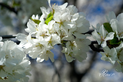 Cherry Blossoms 1