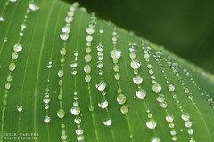 Droplet Highway (Cesar R.) Tags: naturaleza macro verde green nature wet water rain closeup d50 leaf agua nikon waterdrop drop nikond50 platano cesar micro droplet 60mm gota nikkor raindrop dropplet superaplus aplusphoto cesarr