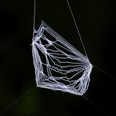 net030606 (Gary L Warner) Tags: net nature garden spider spiders web arachnid silk arachnids animalarchitecture netcasting netcastingspider deinopis