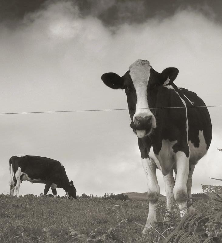 grazing / a pastar