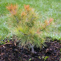 Unhappy Pine