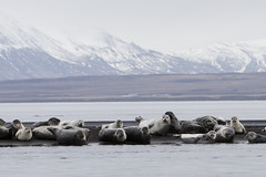 The memory of the seals (LaStef) Tags: sea iceland womenonly seal seals osar hnavatnsssla phocavitulina sar hunavatnssysla landselur pinnped