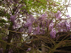 Wisteria everywhere!
