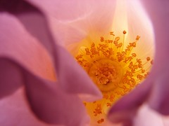April rose (Brian A Petersen) Tags: california pink roses flower macro nature rose yellow garden brian center petal bp petersen excellence bpbp brianpetersen brianapetersen