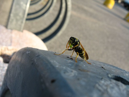 A wasp chowing down on something outside mall near Legnano, Italy
