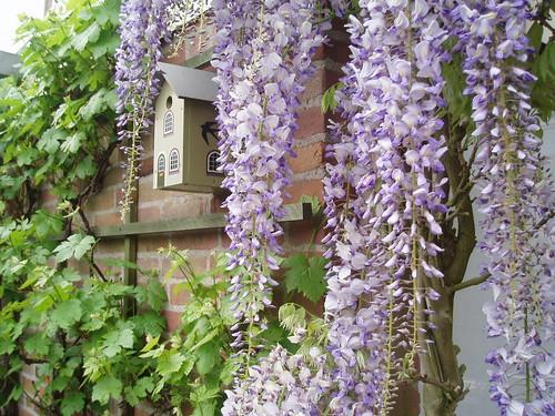 wisteria/ birdhouse