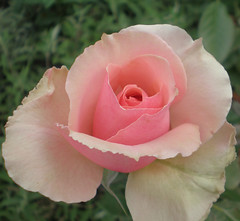 Little Pink Rose (Studio Amore) Tags: pink flower rose vegitation impressedbeauty
