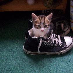 kitten in a shoe