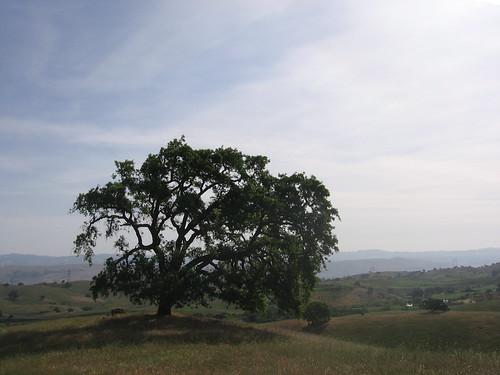 Excellent oak