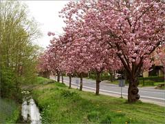 All 3 together (Cherry Lane) (Kirsten M Lentoft) Tags: street pink trees flower water bells cherry denmark flue hillerød momse2600 favoritegarden ullerød kirstenmlentoft