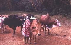 Young Maasai herder, Kenya, 1979 (gbaku) Tags: africa work children mammal cow child cattle kenya african labor working bull bulls labour afrika anthropologie mammals herd masai maasai anthropology herds africain afrique ethnography ethnology africaine herder herders ethnologie afrikas