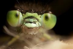 Hello :)  Damselfly closeup #2 (Lord V) Tags: macro bug insect damselfly