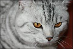 Freddy (*Melody*) Tags: orange cat silver nose eyes whiskers freddy pedigrgee photofaceoffwinner pfosilver