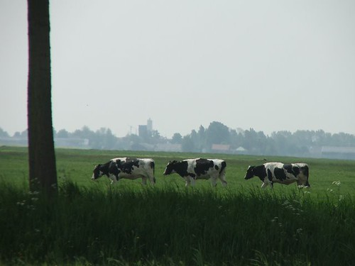 A Row of Cows