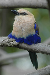 Blue-bellied Roller