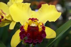 Jardim Botnico - 05mai07 - Orqudeas (16) (Fernando Bitencourt) Tags: orchid flower nature orchids sopaulo botnico sampa urbannature orqudeas orqudea alpha100 febitencourt