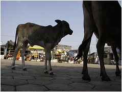 holy cow, omkareshwar (nevil zaveri (thank you for 10 million+ views :)) Tags: street people woman india man men animals silhouette photography cow photo blog photographer cattle photos stock documentary images holy story domestic photographs photograph sacred shops vendor mp bazaar calf zaveri livestock hawkers stockimages nevil madhyapradesh omkareshwar peopleandplaces nevilzaveri