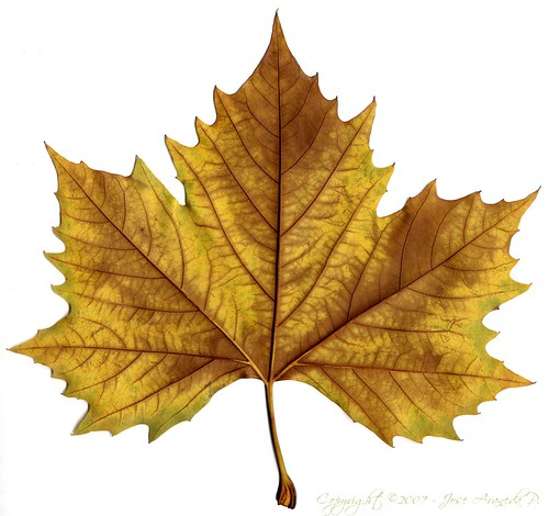 bandera::canada::The Maple Leaf::hoja de arce::arbol::pais ...